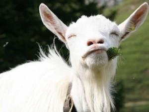 новый год козы