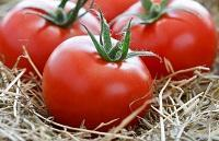 как сохранить помидоры в опилках