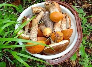 грибы подосиновики правила